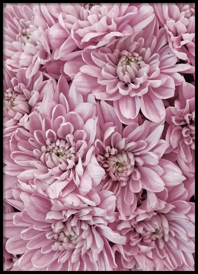 Tranh lẻ canvas Pink Dahlia