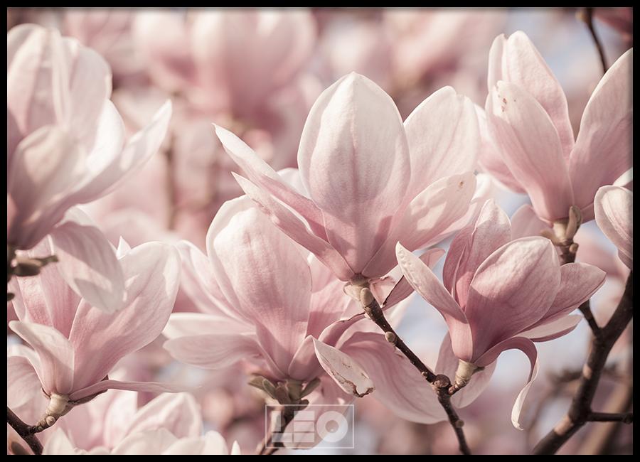 Tranh lẻ canvas Magnolia