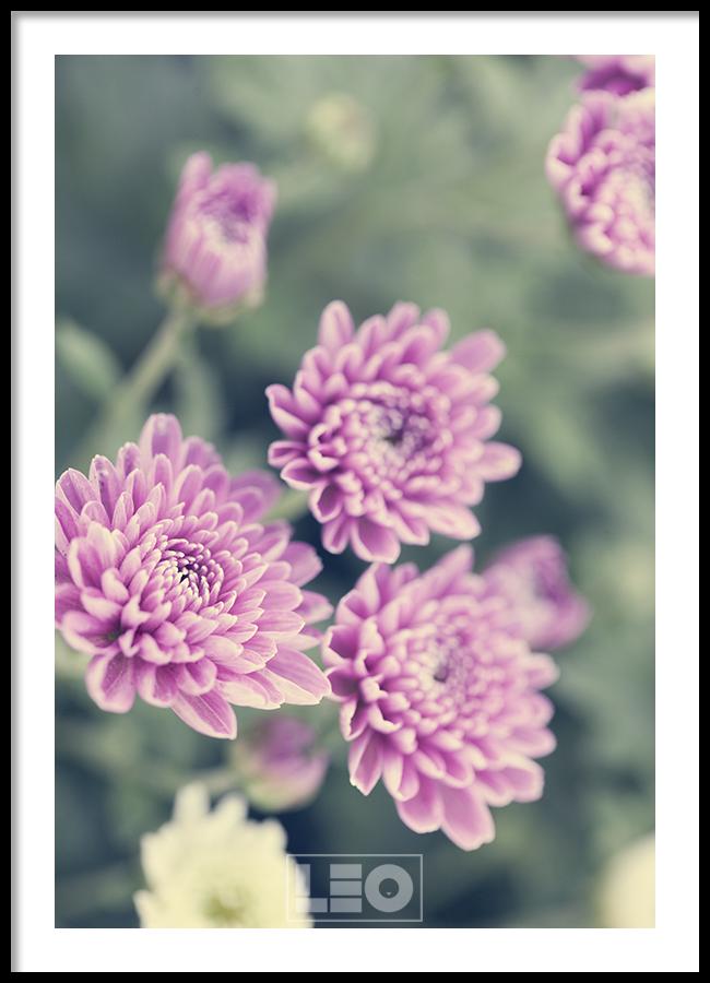 Tranh lẻ canvas Purple Dahlia