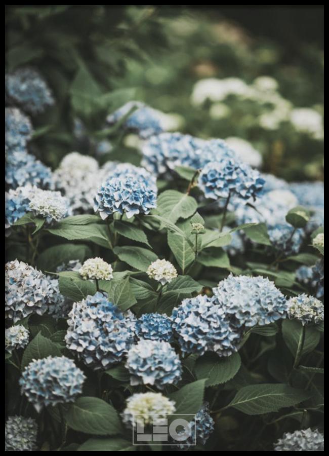 Tranh lẻ canvas Blue Hydrangea No1