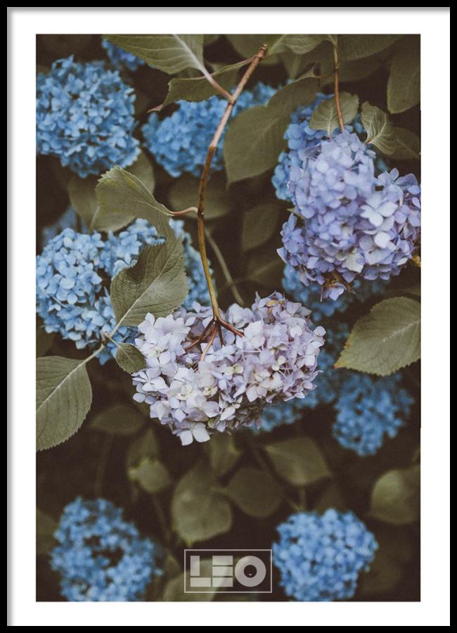 Tranh lẻ canvas Blue Hydrangea No2