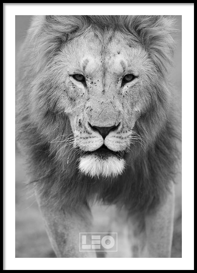 TRANH LẺ CANVAS LION